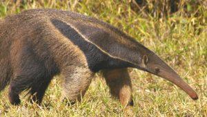 Espécie tem perdido espaço no seu habitat natural devido à dificuldade de encontrar comida frente à redução das matas, especialmente no Cerrado e no Pantanal. Luiz Carlos Rocha Flickr 2008