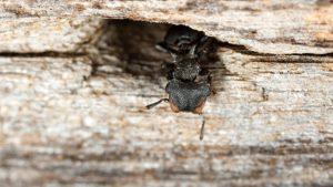 "Cephalotes pusillus, espécie de formiga registrada no Parque Estadual Mata dos Godoy, em Londrina (PR). Foto: Roberto ""Bob"" Solar/Flickr, 2014"