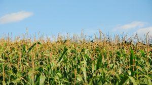 Ideia pode ajudar a reduzir impacto ambiental e aumentar produtividade da cerealicultura brasileira, focada nos cultivos de milho e arroz. Na foto, milharal no Paraná. Foto: Guilherme Storcl/Flick