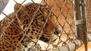 Onça do Zoo de Curitiba testada por cientistas da UFPR. Fotos: Alexander Biondo/Divulgação