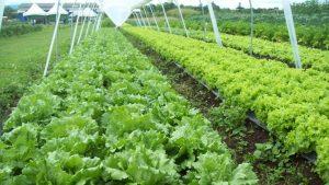 Alfaces orgânicas cultivadas com ajuda do biofertilizante desenvolvido no Setor de Ciências Agrárias da UFPR. Fotos: Atila F. Mógor/Divulgação