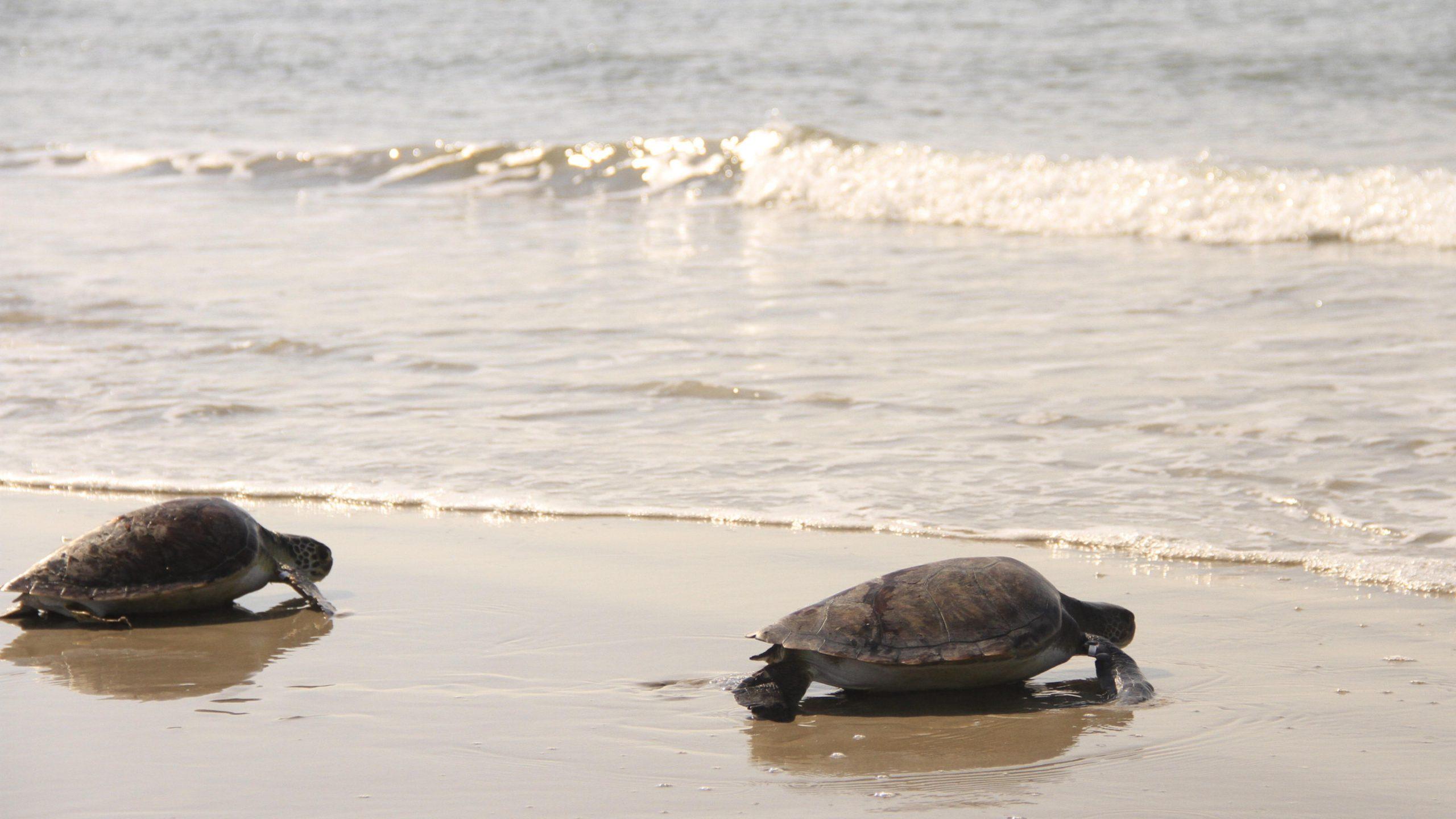 De janeiro a agosto de 2020, o Lec-UFPR registrou aproximadamente 60 tartarugas marinhas. Na foto, tartarugas-verdes