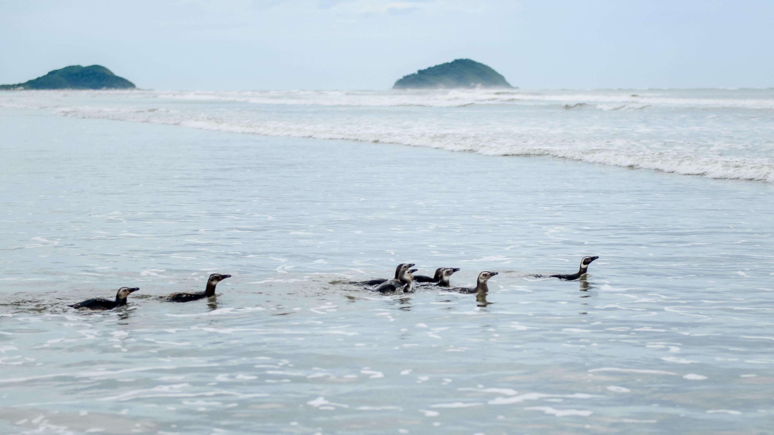 Soltura de pinguins-de-magalhães reabilitados. Foto Marcos Solivan Sucom UFPR 2020