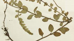 A Salvia lachnostachys Benth, nativa do Paraná, em registro no Plants of the World Online