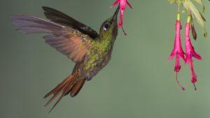 Beija-flores mantêm interações muito específicas com plantas também específicas, marcadas por fatores como a curvatura e o comprimento do bico do pássaro. Na foto, um beija-flor rubi visita uma bromélia. Foto: Sergio Gregorio da Silva/Acervo Pessoal